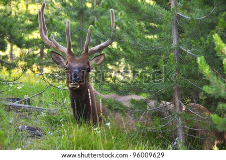 Elk at Yellowstone National Park - stock photo