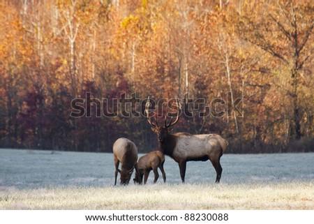 Elk Family - stock photo