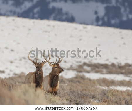 Elk found grazing in Grand Teton National Park near Kelley and Jackson Hole Wyoming. - stock photo