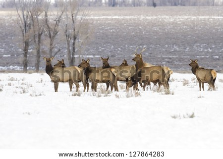 Elk herd found in Grand Teton National Park ear Kelley and Jackson Hole Wyoming. - stock photo