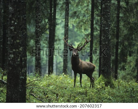 Elk in Forest - stock photo