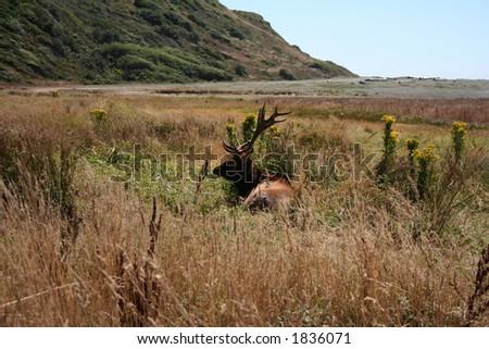 Elk in the wilds - stock photo