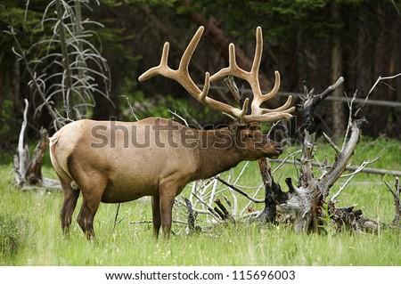 Elk Stag with big trophy antlers in velvet - stock photo