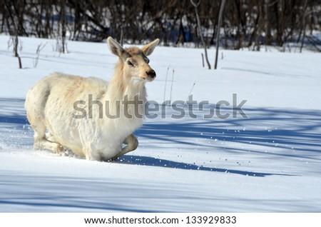 Elk walking in deep snow. - stock photo