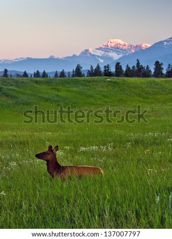 Elks in dusk, Jasper National Park, Alberta, Canada - stock photo