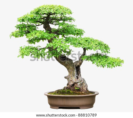 Elm Bonsai - stock photo