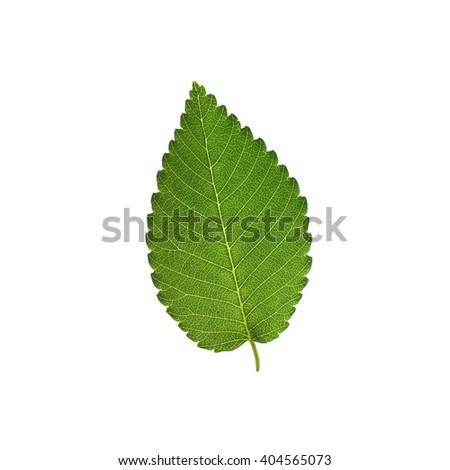 Elm tree leaf isolated on white background - stock photo