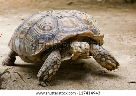 Elongated Tortoise - Indotestudo elongata - stock photo
