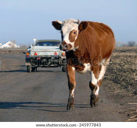 Elsanta, Russia - October 18, 2008: the Road through the village, driving cars in Elsanta, Russia - October 18, 2008. Cow crossing the road. - stock photo