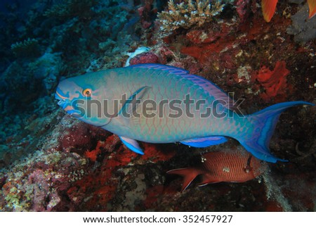 Ember parrotfish (Scarus rubroviolaceus) underwater in the coral reef  - stock photo