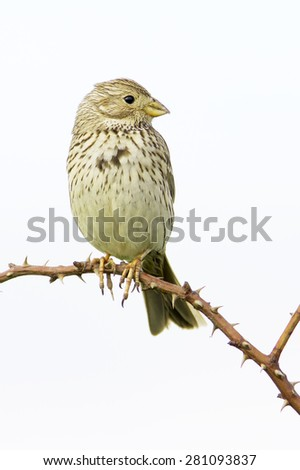 Emberiza calandra / corn bunting in natural habitat - stock photo