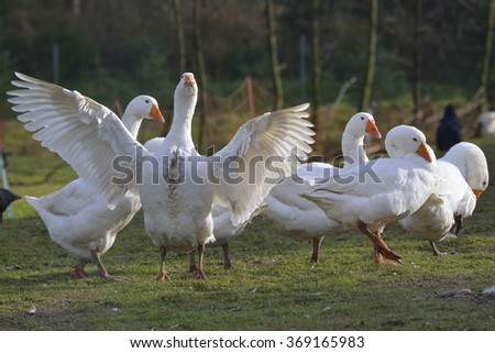 Emden geese on a farm. - stock photo