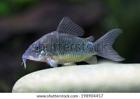 Emerald catfish - Corydoras splendens - stock photo