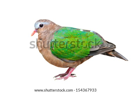 Emerald dove or Green Pigeon, Chalcophaps Indica, bird of Thailand  - stock photo