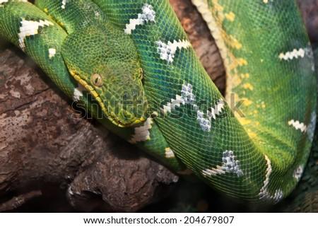 Emerald Green Tree Boa - stock photo