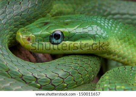 Emerald rat snake / Rhadinophis prasinum - stock photo