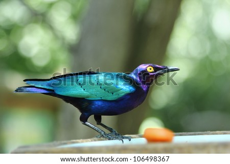 Emerald Starling in a eater artificial. This bird is also known as lamprotornis purpureus, Lamprotornis iris, Merle Metallique, Emerald Starling, Purple Glossy Starling, - stock photo