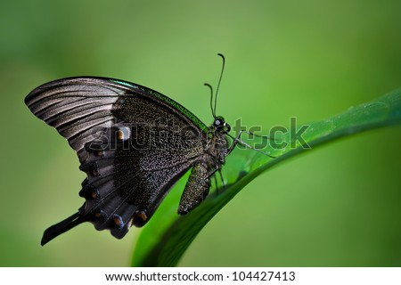Emerald Swallowtail butterfly (papilio palinurus) perched on leaf. Natural green background with copy space. - stock photo