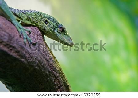 Emerald Tree Monitor (Varanus prasinus) on a tree branch - stock photo