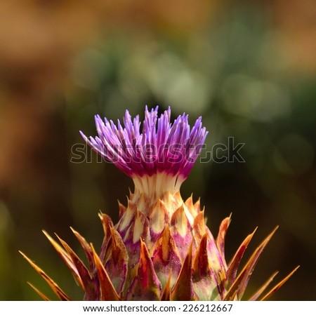 Emergent flower of wild artichoke - stock photo