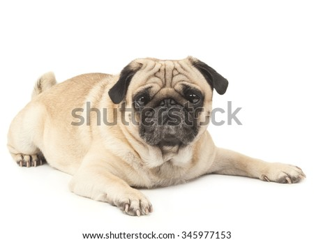 emotional Pug Close-up - stock photo