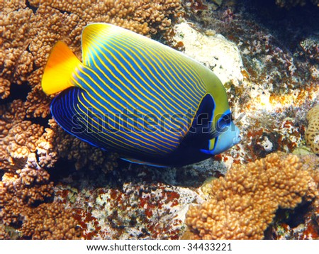Emperor angelfish and coral - stock photo
