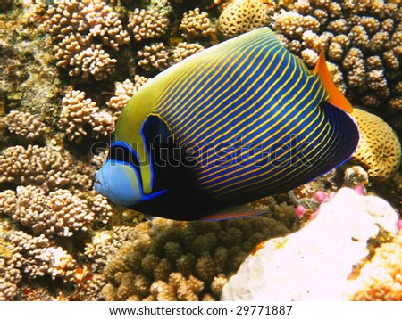 Emperor angelfish and coral reef - stock photo