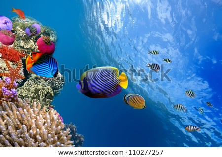 Emperor Angelfish (Pomacanthus imperator), Red Sea, Egypt - stock photo