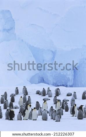 Emperor Penguin (Aptenodytes forsteri) colony - stock photo