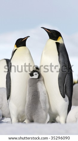 Emperor penguins (Aptenodytes forsteri) on the ice in the Weddell Sea, Antarctica - stock photo