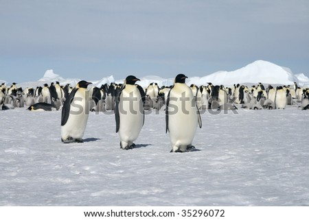 Emperor penguins (Aptenodytes forsteri) walking on the ice in the Weddell Sea, Antarctica - stock photo