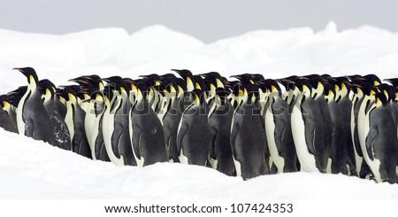 Emperor penguins, the Antarctic. - stock photo