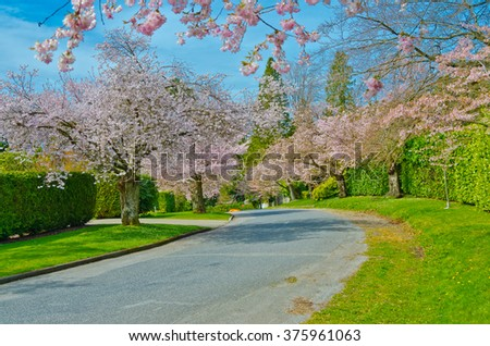Empty street (pathway ) at the Cherry blossom spring time. Vancouver. Canada. - stock photo