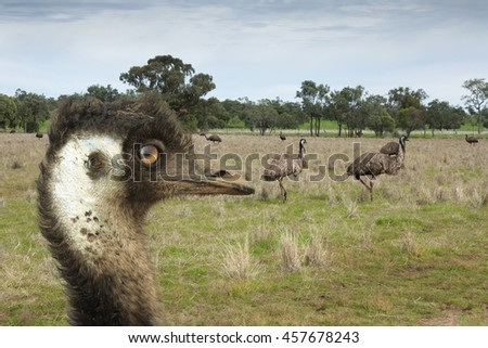 Emu close up of head with other emus  in the background - stock photo