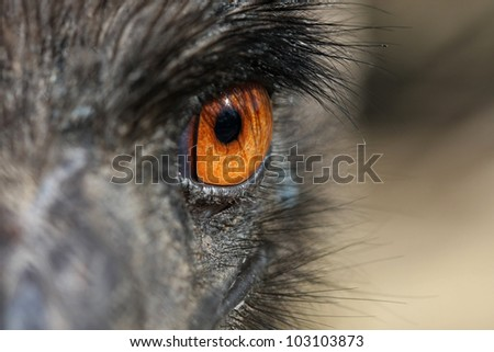 Emu Dromaius novaehollandiae - stock photo
