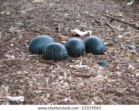 emu eggs - stock photo