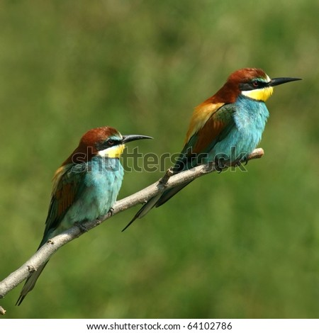 enamoured couple of bee-eaters alighted on a twig - stock photo