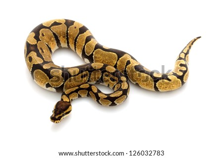 enchi ball python (Python regius) isolated on white background. - stock photo