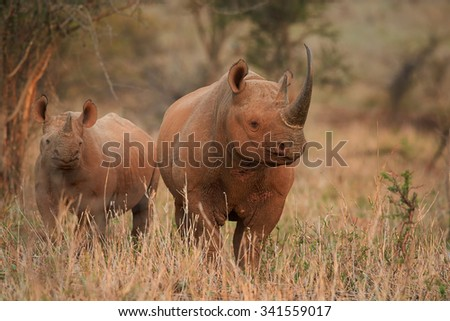 Endangered black rhino with a calf in savanna with distant trees in background, colorful evening light - stock photo
