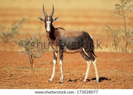 Endangered bontebok antelope (Damaliscus pygargus dorcas), South Africa - stock photo