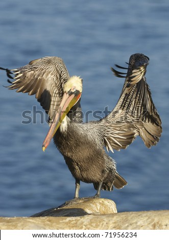 Endangered California Brown Pelican, Pelecanus occidentalis, on cliff rocks with wings outstretched - stock photo