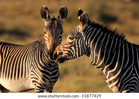 Endangered Cape Mountain Zebras (Equus zebra), Mountain Zebra National Park, South Africa - stock photo