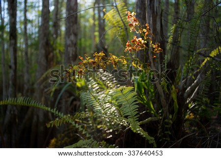 Endangered cowhorn orchid with ferns, cypress, Florida Everglades.  - stock photo