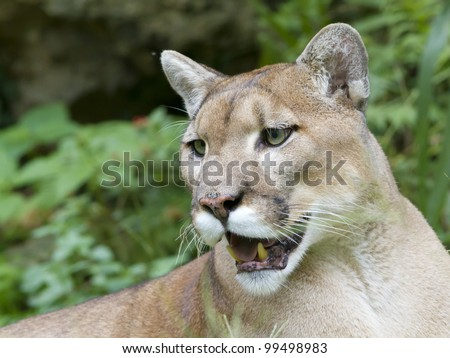 Endangered Florida Panther - stock photo