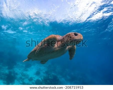 Endangered giant adult Loggerhead Sea Turtle - stock photo