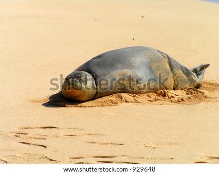 Endangered Hawaiian Monk Seal - stock photo