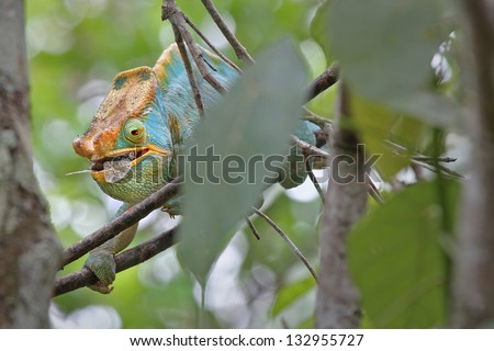 ENDANGERED male Parson's Chameleon (Calumma parsonii) eating a cicada fly in Ranomafana, Madagascar. The largest chameleon species in the world. IUCN lists as Near Threatened. Big, beautiful, colorful - stock photo