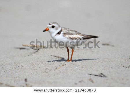 Endangered Piping Plover (Charadrius melodus) on a beach - stock photo