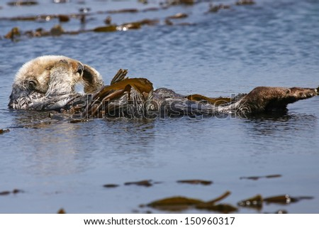 Endangered Sea Otter (Enhydra lutris) in Pacific Ocean (California). An adult Otter relaxes and grooms face in the safety of the sea kelp. - stock photo