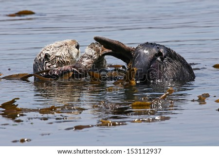 Endangered Sea Otter (Enhydra lutris) in Pacific Ocean (California). In the safety of the sea kelp, this adult Otter relaxes and grooms itself in the open ocean. - stock photo